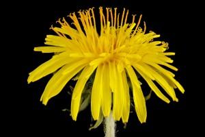 5 plantes minceur pour maigrir naturellement